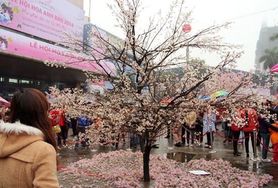 Hoa anh đào Nhật Bản trở lại Hà Nội - Ảnh 2