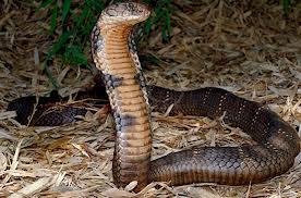 Bị rắn cắn chết vì mang rắn độc vào nhà nghỉ - Ảnh 1