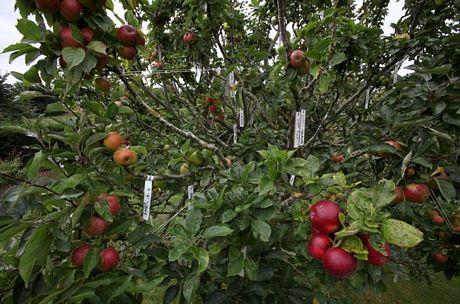 Kỳ lạ giống táo có 250 loài trên một cây - Ảnh 5