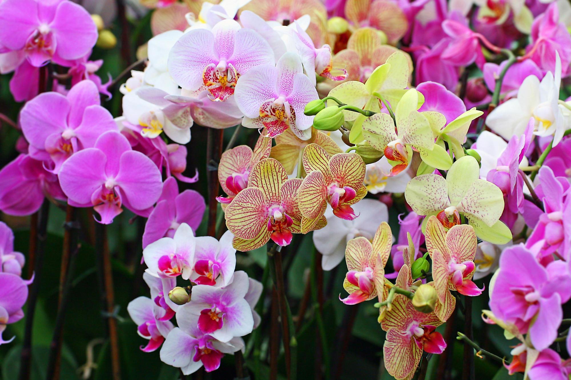 Những loại hoa mang lại may mắn cả năm - Ảnh 6