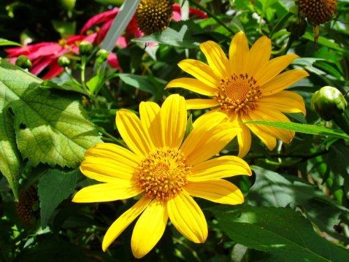 Đà Lạt rực vàng mùa hoa dã quỳ - Ảnh 1