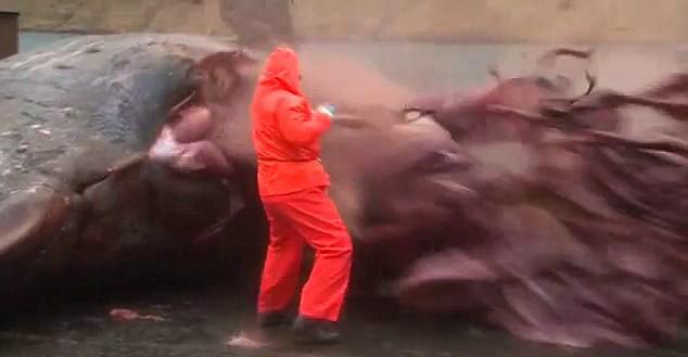 Những vụ cá voi phát nổ gây sốc - Ảnh 1