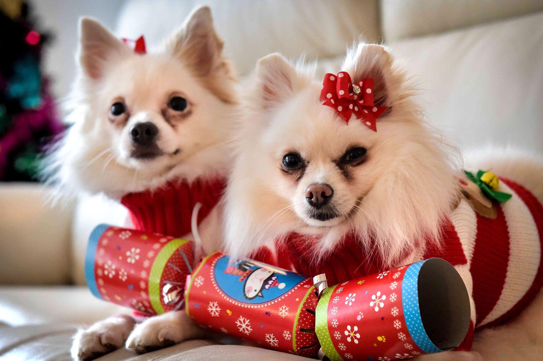 Noel 2014: Cô gái chi hàng chục triệu đồng sắm quà cho… cún cưng - Ảnh 1