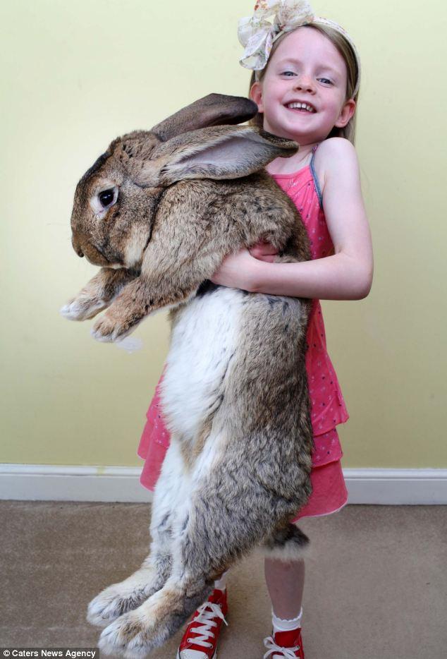 """""""Siêu thỏ"""" nặng trên 20 kg, dài hơn 1 mét - Ảnh 1"""