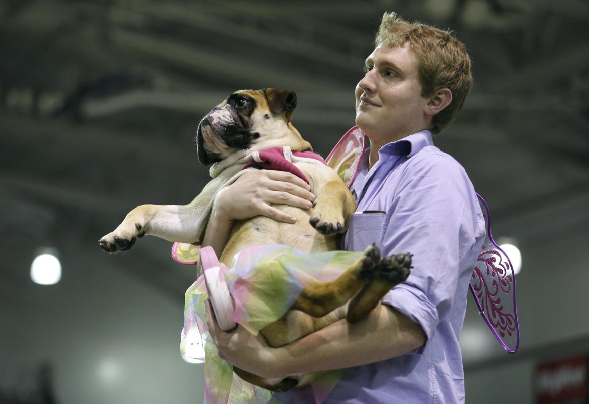 """Độc đáo cuộc thi """"Chó Bull đẹp"""" ở nước Mỹ - Ảnh 10"""