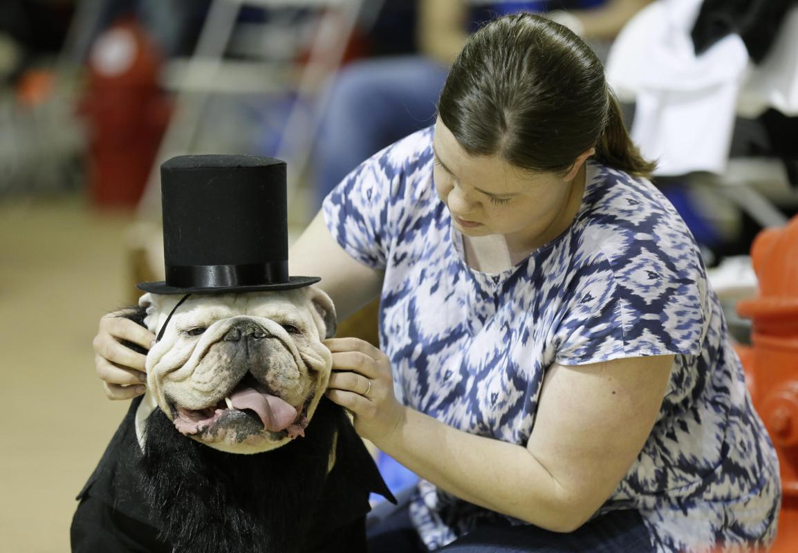 """Độc đáo cuộc thi """"Chó Bull đẹp"""" ở nước Mỹ - Ảnh 3"""