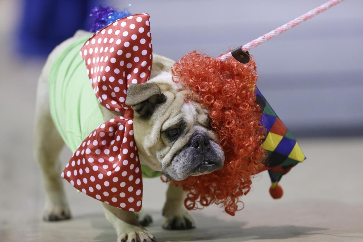 """Độc đáo cuộc thi """"Chó Bull đẹp"""" ở nước Mỹ - Ảnh 4"""