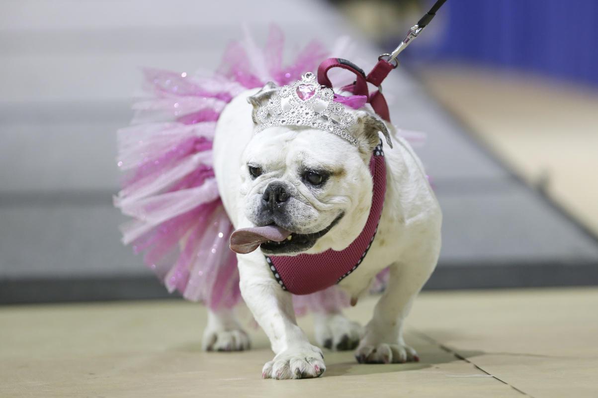 """Độc đáo cuộc thi """"Chó Bull đẹp"""" ở nước Mỹ - Ảnh 5"""