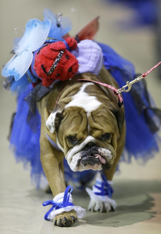 """Độc đáo cuộc thi """"Chó Bull đẹp"""" ở nước Mỹ - Ảnh 6"""