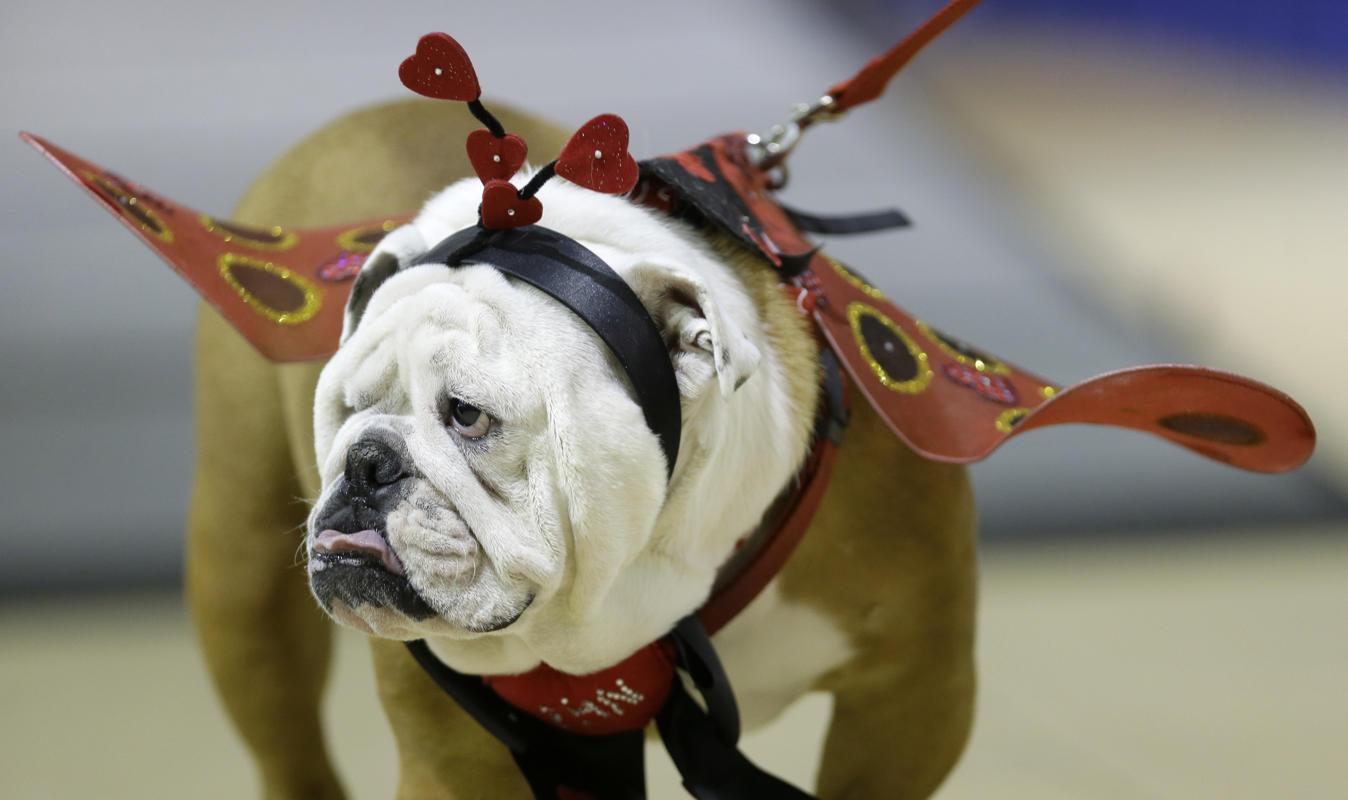 """Độc đáo cuộc thi """"Chó Bull đẹp"""" ở nước Mỹ - Ảnh 7"""