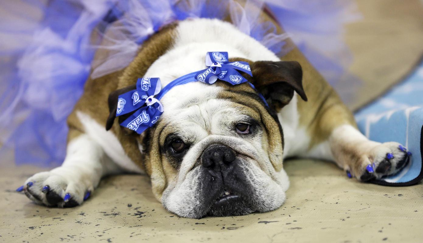 """Độc đáo cuộc thi """"Chó Bull đẹp"""" ở nước Mỹ - Ảnh 9"""