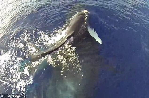 """Cảnh tượng kỳ thú: Cá voi mẹ cõng con """"bay"""" trên mặt nước - Ảnh 1"""