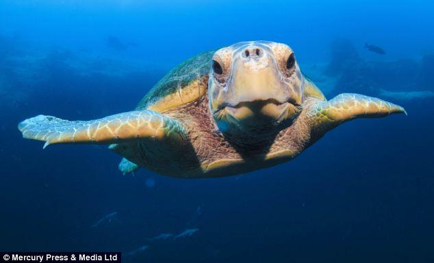 """Ảnh """"độc"""" rùa hiếm tạo dáng cùng thợ lặn - Ảnh 3"""