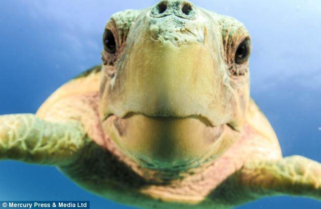 """Ảnh """"độc"""" rùa hiếm tạo dáng cùng thợ lặn - Ảnh 5"""