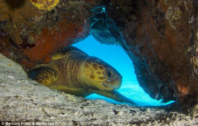 """Ảnh """"độc"""" rùa hiếm tạo dáng cùng thợ lặn - Ảnh 6"""