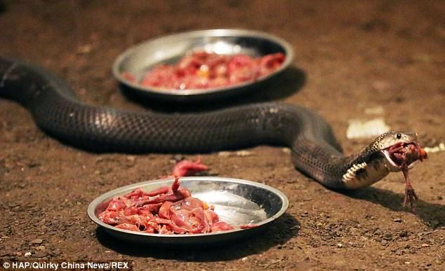 Bị cắn nhiều lần nhưng vẫn quyết nuôi 30.000 con rắn hổ mang - Ảnh 2