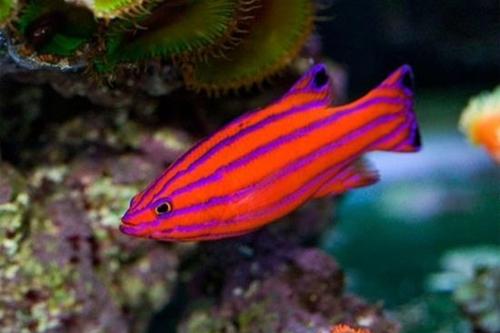 10 loài cá cảnh đắt nhất thế giới  - Ảnh 1