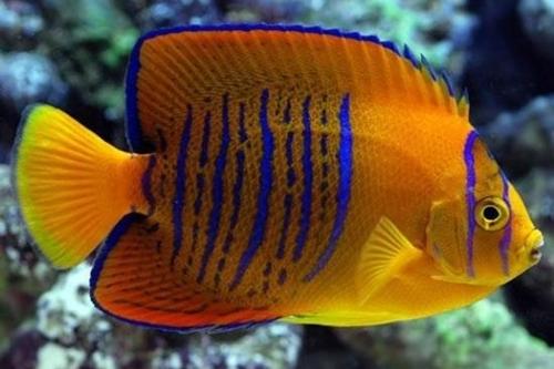 10 loài cá cảnh đắt nhất thế giới  - Ảnh 2
