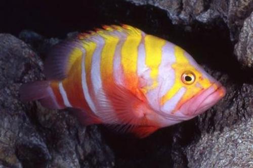 10 loài cá cảnh đắt nhất thế giới  - Ảnh 5