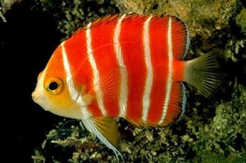 10 loài cá cảnh đắt nhất thế giới  - Ảnh 8
