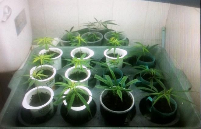 Kẻ trồng cần sa trong nhà từng là sinh viên Đại học Luật - Ảnh 3