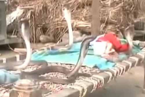 Clip: Lạnh sống lưng với cảnh rắn hổ mang canh giữ cho em bé ngủ - Ảnh 2