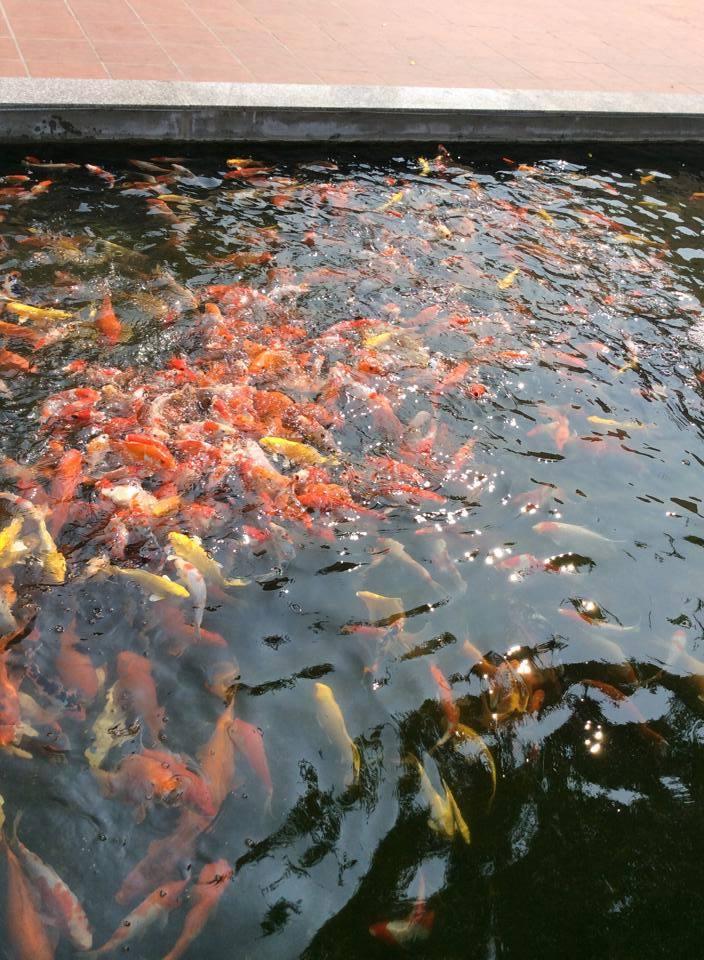 """Cá """"bú bình"""" đã xuất hiện ở Việt Nam - Ảnh 2"""