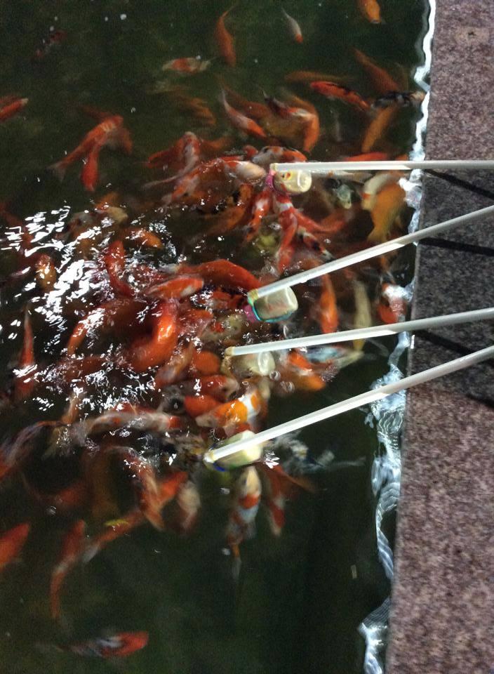 """Cá """"bú bình"""" đã xuất hiện ở Việt Nam - Ảnh 5"""