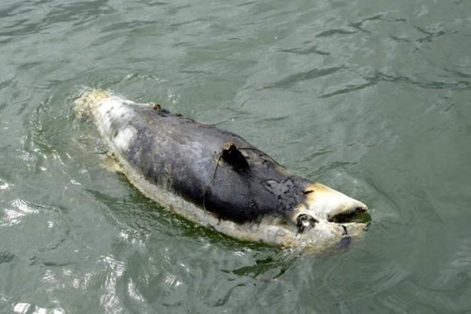 Bò biển chết gần đảo Phú Quốc, chuyện gì đã xảy ra? - Ảnh 1