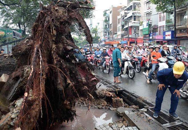 Hàng loạt cổ thụ ở Sài Gòn bật gốc đè bẹp ôtô, xe máy - Ảnh 2