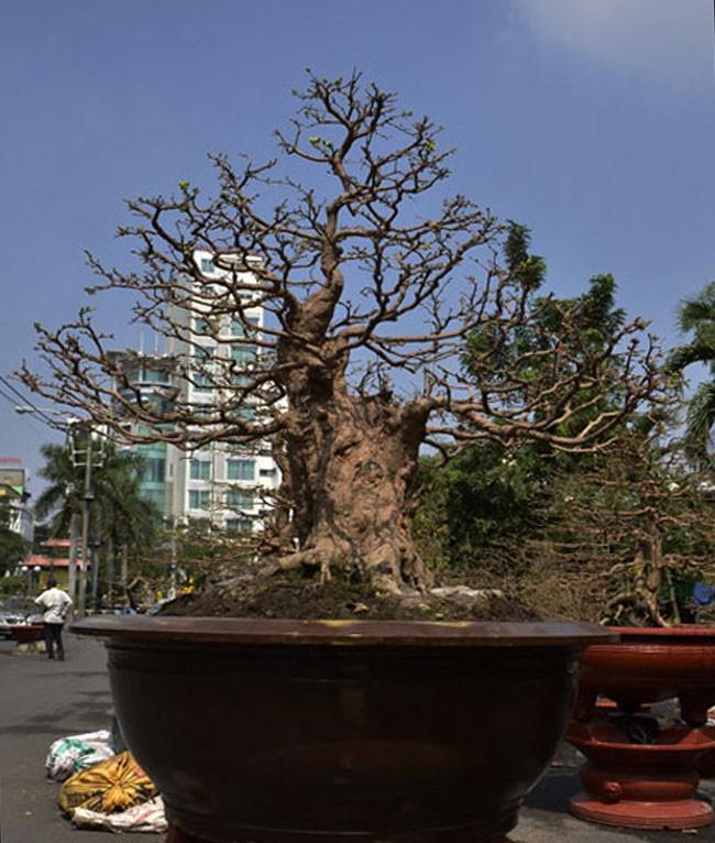 Chiêm ngưỡng cây cảnh bạc tỷ bày Tết Giáp Ngọ - Ảnh 6