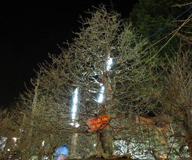 Chiêm ngưỡng cây cảnh bạc tỷ bày Tết Giáp Ngọ - Ảnh 7