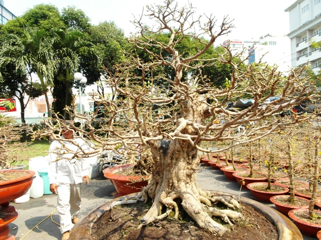 Chiêm ngưỡng cây cảnh bạc tỷ bày Tết Giáp Ngọ - Ảnh 3