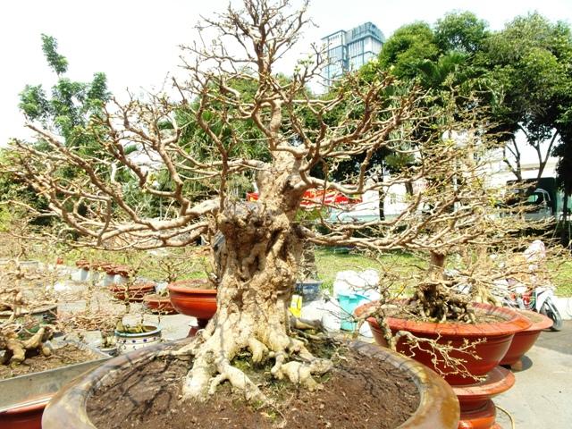 Chiêm ngưỡng cây cảnh bạc tỷ bày Tết Giáp Ngọ - Ảnh 4