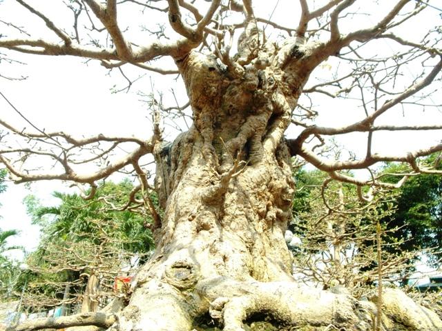 Chiêm ngưỡng cây cảnh bạc tỷ bày Tết Giáp Ngọ - Ảnh 5