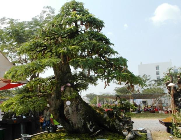 Chiêm ngưỡng cây cảnh bạc tỷ bày Tết Giáp Ngọ - Ảnh 10