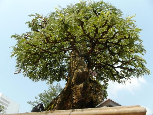 Chiêm ngưỡng cây cảnh bạc tỷ bày Tết Giáp Ngọ - Ảnh 11