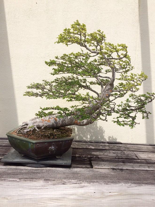 Bằng Kiều khoe vườn bonsai tiền tỷ ở Mỹ - Ảnh 9
