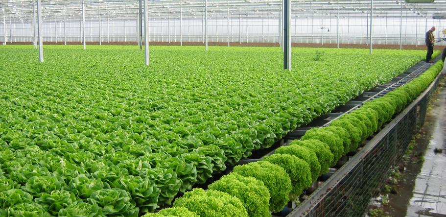 Công chức, kỹ sư cũng bỏ nghề đi trồng rau sạch - Ảnh 1