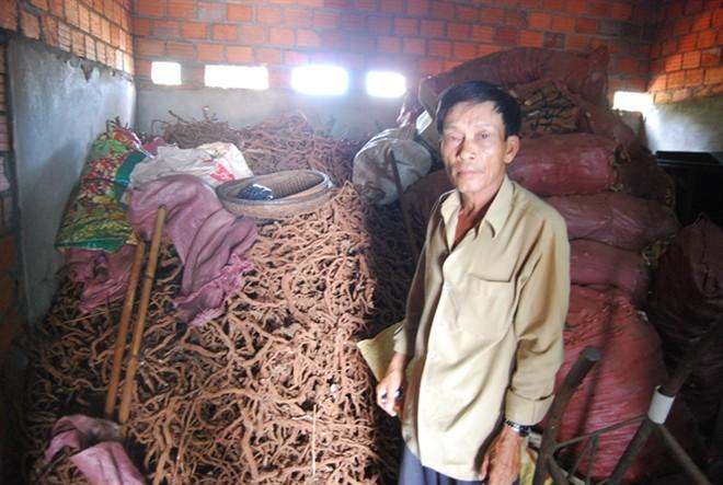 Không rõ thương lái Trung Quốc mua rễ tiêu sống làm gì - Ảnh 2