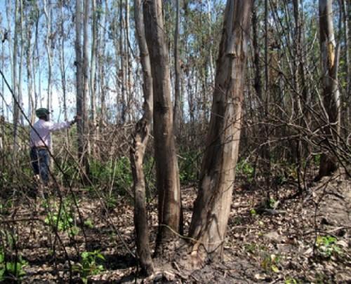 Đồng Nai: Gần 30 ngàn cây gỗ lớn bị thiêu chết vì nắng nóng - Ảnh 1