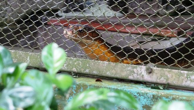 Những loài rắn cực độc ở trại rắn lớn nhất Việt Nam - Ảnh 3