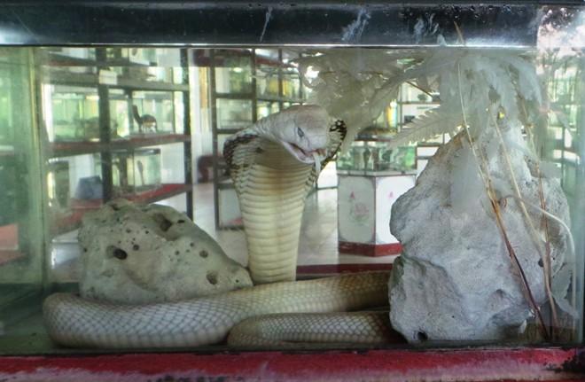 Những loài rắn cực độc ở trại rắn lớn nhất Việt Nam - Ảnh 4