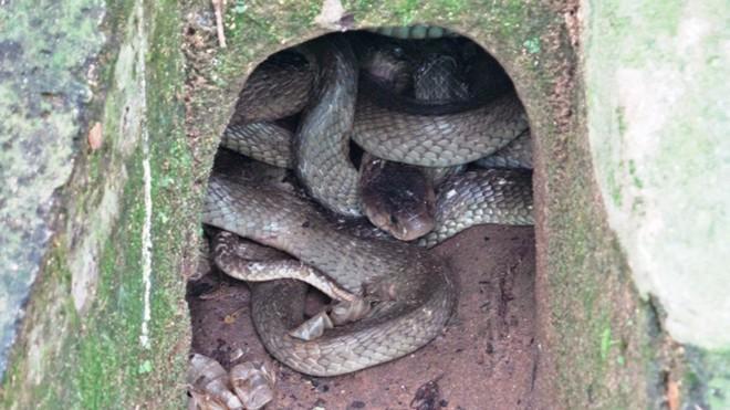 Những loài rắn cực độc ở trại rắn lớn nhất Việt Nam - Ảnh 6