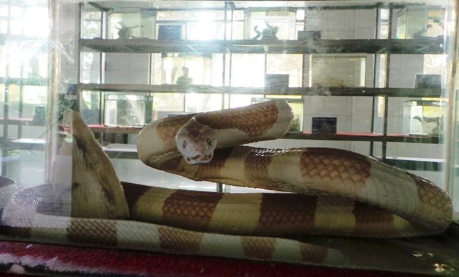 Những loài rắn cực độc ở trại rắn lớn nhất Việt Nam - Ảnh 7