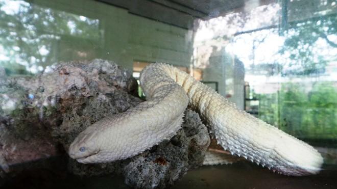 Những loài rắn cực độc ở trại rắn lớn nhất Việt Nam - Ảnh 8