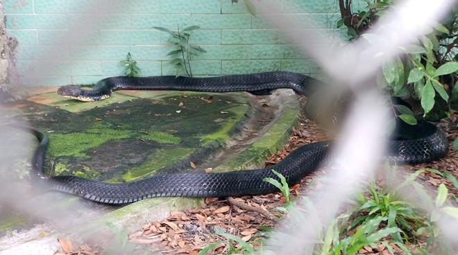 Bốn con hổ mang chúa dài hơn 3 mét thấy người là tấn công - Ảnh 1
