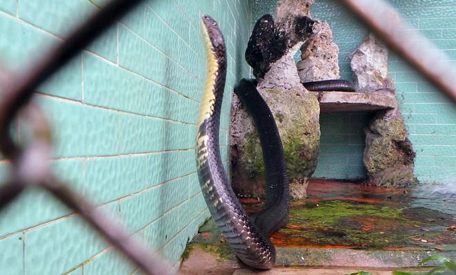 Bốn con hổ mang chúa dài hơn 3 mét thấy người là tấn công - Ảnh 4