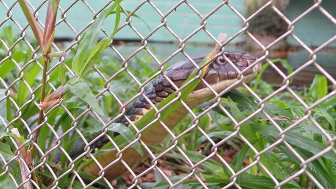 Bốn con hổ mang chúa dài hơn 3 mét thấy người là tấn công - Ảnh 6