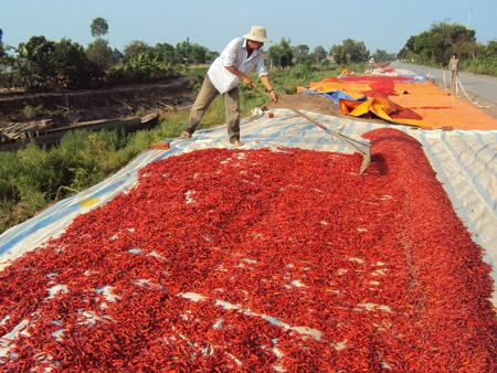Thương lái Trung Quốc lừa người trồng ớt - Ảnh 1